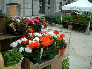 Geraniums at the farmers' market